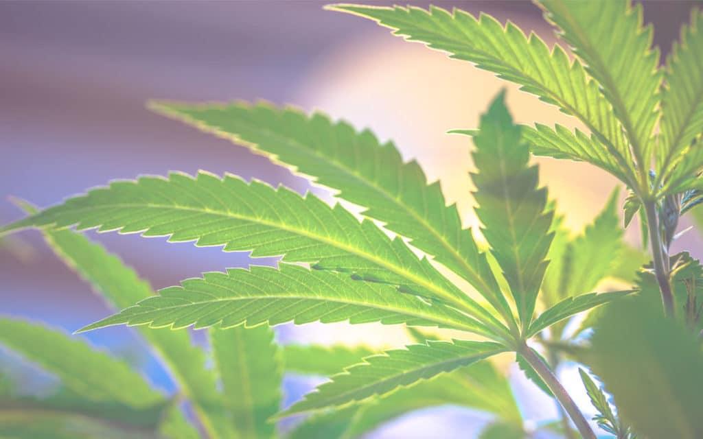 Er cannabisfrø lovlige i Danmark