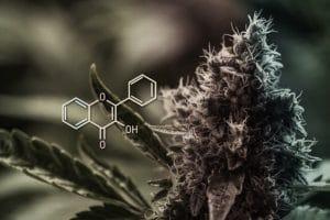 Skunkfrø og cannabisfrø – hvad er forskellen?