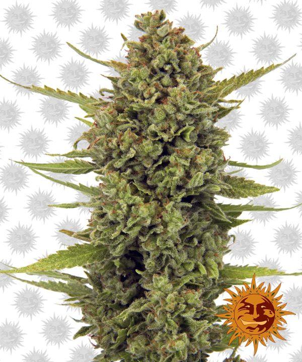 Acapulco-Gold cannabisfrø