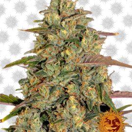 Amnesia-Lemon cannabisfrø