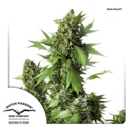 Auto-Duck-Dutch-Passion-cannabisfrø