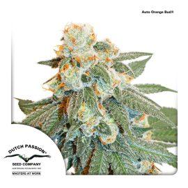 Auto-Orange-Bud-dutch-passion cannabisfrø