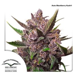 AutoBlackberry-Kush-Dutch-Passion-cannabisfrø
