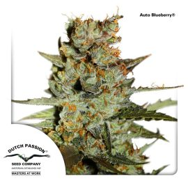 AutoBlueberry-Dutch-Passion-cannabisfroe