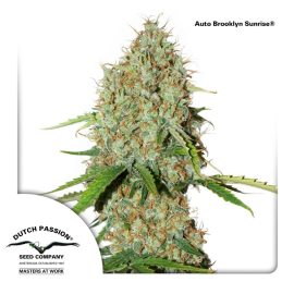 AutoBrooklyn-Sunrise-Dutch-Passion-cannabisfroe