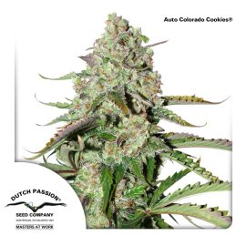 AutoColorado-Cookies-Dutch-Passion-cannabisfrø