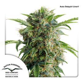 AutoDaiquiri-Lime-Dutch-Passion-cannabisfrø