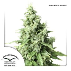 AutoDurban-Poison-Dutch-Passion cannabisfrø