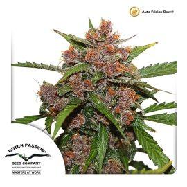 AutoFrisian-Dew-Dutch-Passion cannabisfrø