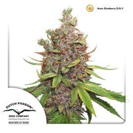 AutoGlueberry-OG-Dutch-Passion cannabisfrø