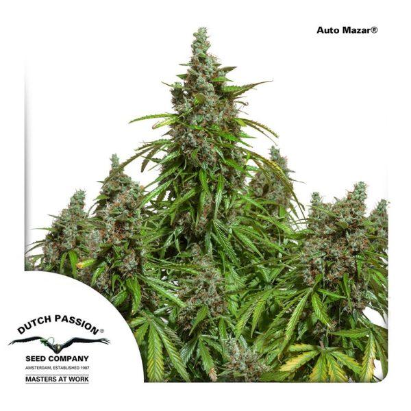 AutoMazar-Dutch-Passion cannabisfrø