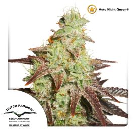 AutoNight-Queen-Dutch-Passion cannabisfrø