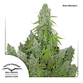 AutoUlltimate-Dutch-Passion cannabisfrø