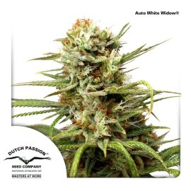 AutoWhite-Widow Dutch-Passion cannabisfrø