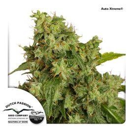AutoXtreme-Dutch-Passion cannabisfrø