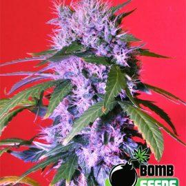 berry bomb cannabisfrø