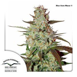 Blue-AutoMazar-Dutch-Passion cannabisfrø