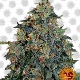 Blueberry-OG cannabisfrø