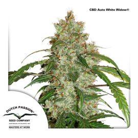 CBD-Auto-white-widow cannabisfrø