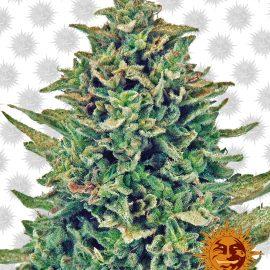CBD-Blue-Shark medicinske cannabisfrø