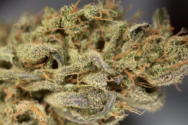 CBD Cannabisfrø - Dinafem - Amnesia Auto CBD