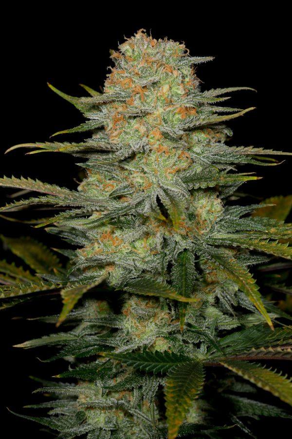 CBD Cannabisfrø - Dinafem - Amnesia CBD (2)