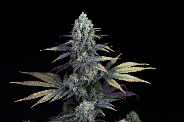 CBD Cannabisfrø - Dinafem - Dinamed