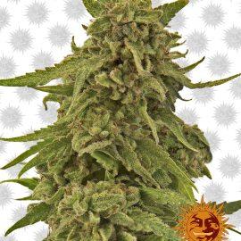 CBD-Critical-Cure medicinske cannabisfrø