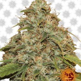 CBD-Lemon-Potion-auto medicinske cannabisfrø