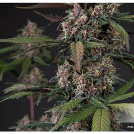 Cannabisfrø Auto Blackberry Kush Dutch Passion