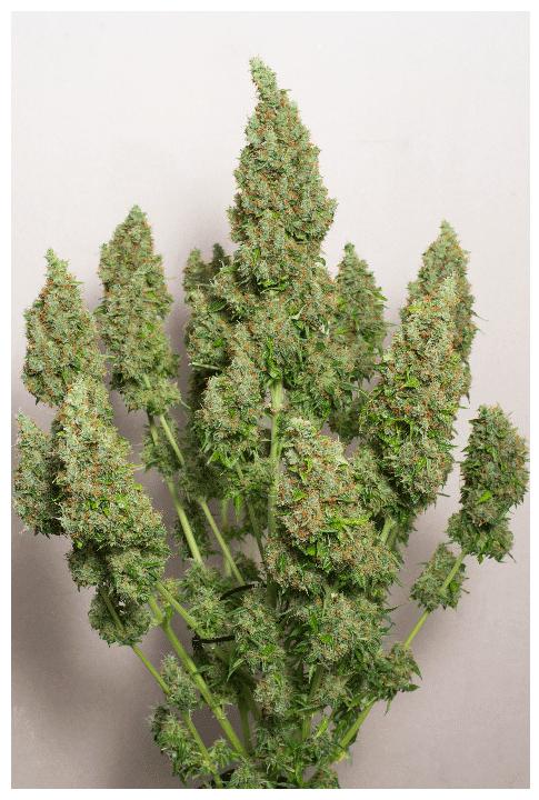 Cannabisfrø Auto Mazar Dutch Passion 2