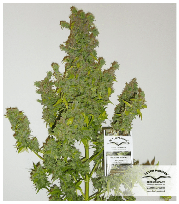 Cannabisfrø Auto Mazar Dutch Passion 4