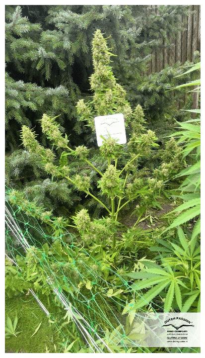 Cannabisfrø Auto Mazar Dutch Passion 7