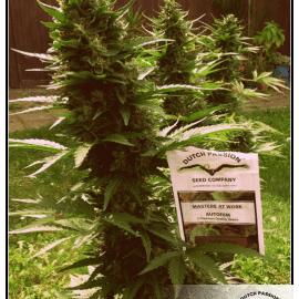 Cannabisfrø Auto White Widow Dutch Passion