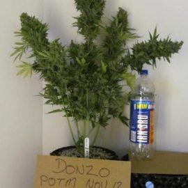 Cannabisfrø-Autodinafem-Fruit_Autoflower