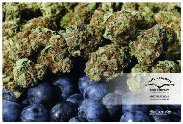 Cannabisfrø Blueberry Dutch Passion