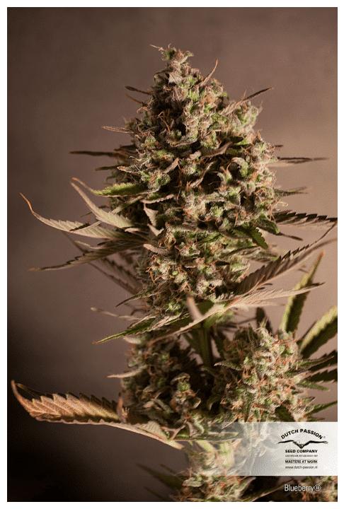Cannabisfrø Blueberry Dutch Passion 2