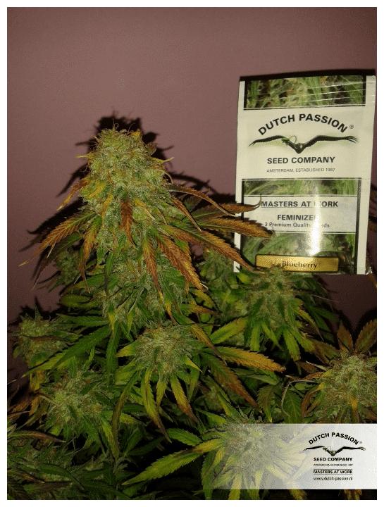 Cannabisfrø Blueberry Dutch Passion 4