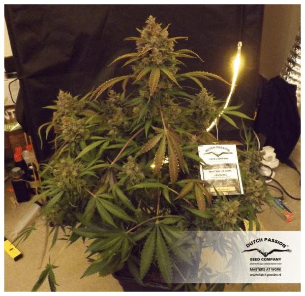 Cannabisfrø Blueberry Dutch Passion 5