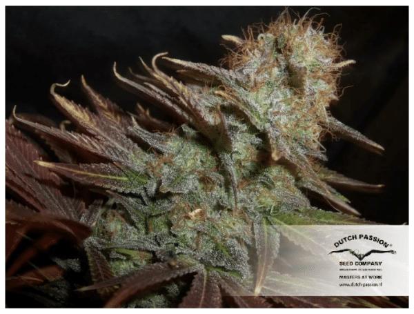 Cannabisfrø Blueberry Dutch Passion 6
