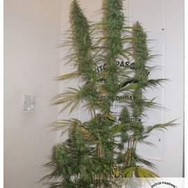 Cannabisfrø Desfrán Dutch Passion