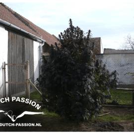 Cannabisfrø Frisian Dew Dutch Passion