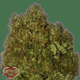 Cannabisfrø Money Bush F-1