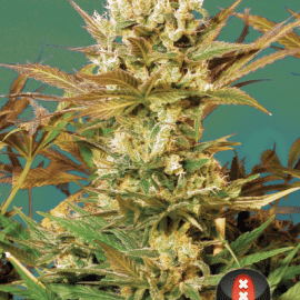 Cannabisfrø Motavation Serious Seeds