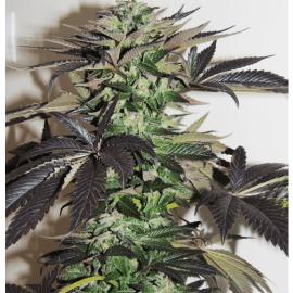 Cannabisfrø Night Queen Dutch Passion