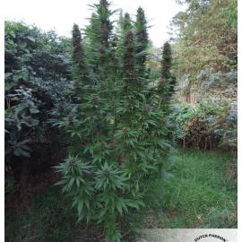 Cannabisfrø Purple #1 Dutch Passion