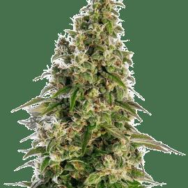 Cannabisfrø Sensi Seeds Afghan #1 Automatic