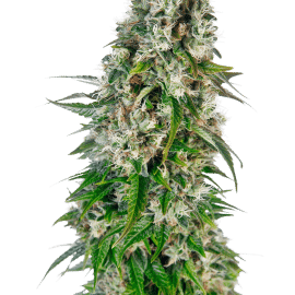 Cannabisfrø Sensi Seeds Big Bud Automatic