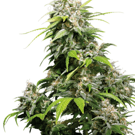 Cannabisfrø Sensi Seeds California Indica Feminiserede