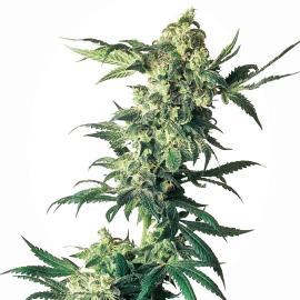 Cannabisfrø Sensi Seeds Northern Lights